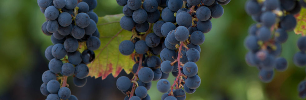 Blackstone Cabernet Sauvignon grapes